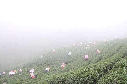紅茶產地埔里